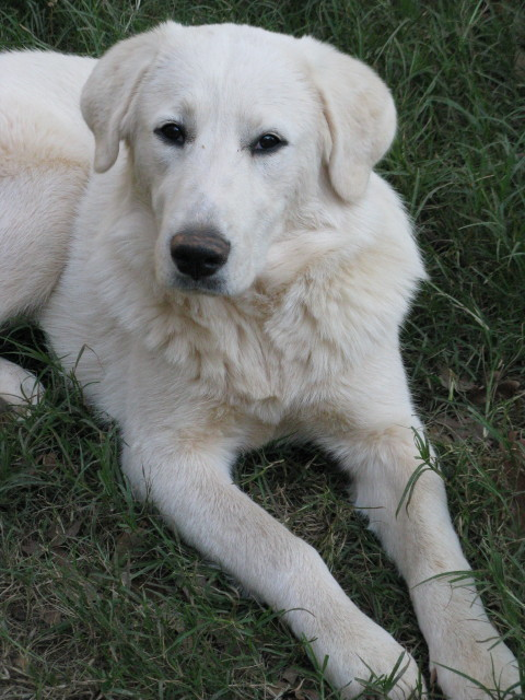 great pyrenees rescue rescue dedicated to great pyrenees ...